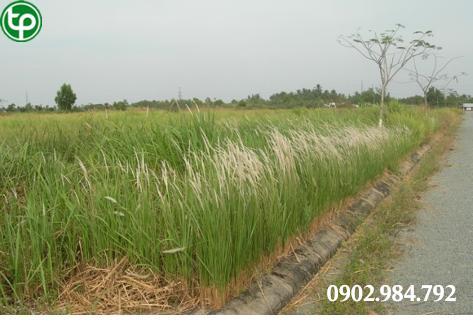 Địa chỉ bán rễ cỏ tranh tại tphcm thanh nhiệt lợi tiểu