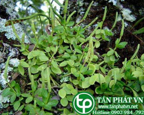 Tình yêu cây cỏ ĐV2 - Page 27 Rau%20cang%20cua%20bon%20la
