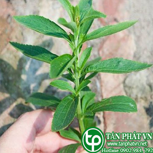 Cây cỏ ngọt giống chất lượng, hỗ trợ tiêu thụ