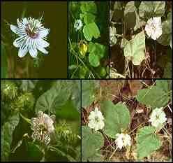 Công dụng chữa bệnh của loại thảo dược lạc tiên