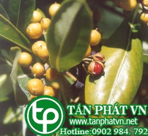 Hải đồng nhiều hoa trị viêm phế quản,trị nộc độc côn trùng, bệnh ngoài da