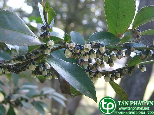 Linh Chân trà Nhật giúp trị bệnh ngoài da
