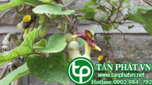 Mã đậu linh lá to giúp lợi tiêu, chữa tiểu khó khăn