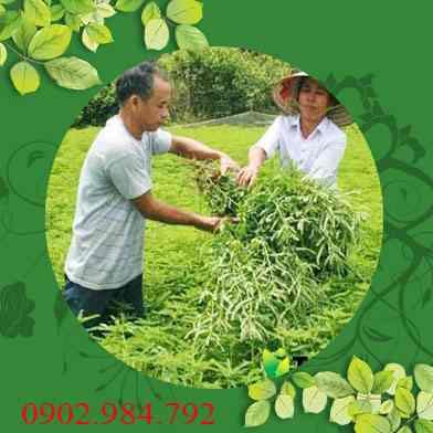 Ở đâu bán diệp hạ châu tại Bình Thuận giá tốt